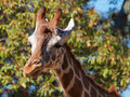 Giraffe right look Royalty Free Stock Photo