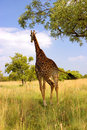 A Giraffe running in his natural habitat Stock Photography