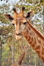 Giraffe a s habitat is usually found in african savannas grasslands or open woodlands Royalty Free Stock Photos
