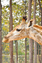 Giraffe a s habitat is usually found in african savannas grasslands or open woodlands Stock Photos