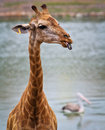Giraffe's head Royalty Free Stock Photography