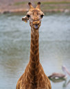 Giraffe's head Royalty Free Stock Image