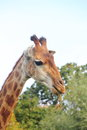 Giraffe s head against the blue sky zoo Royalty Free Stock Photography