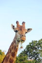 Giraffe s head against the blue sky zoo Stock Photography