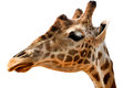 Giraffe s head isolated giraffa camelopardalis separated on white Royalty Free Stock Photo