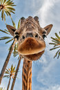 Giraffe s head picture of a realy near loking at the camera Royalty Free Stock Photo