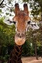 Giraffe's muzzle Stock Image