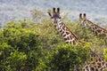 Giraffe on safari wild drive, Kenia. Royalty Free Stock Photo