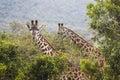 Giraffe on safari wild drive, Kenya. Royalty Free Stock Photo