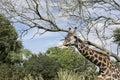 Giraffe on safari wild drive Royalty Free Stock Photo