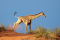 Giraffe on sand dune Royalty Free Stock Photo