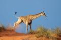 Giraffe on sand dune Royalty Free Stock Photo