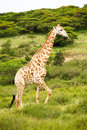 Giraffe in savanna Stock Photo
