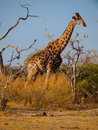 Giraffe in savanna Royalty Free Stock Photo