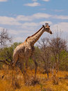 Giraffe in savanna Royalty Free Stock Photo