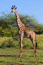 Giraffe on savanna. Safari in Serengeti, Tanzania, Africa Royalty Free Stock Photo