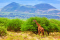 Giraffe on savanna. Safari in Tsavo West, Kenya, Africa Stock Images