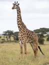 Giraffe in the savanna a single nairobi national park kenya africa Royalty Free Stock Photos
