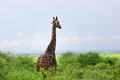 The giraffe in savanna. Uganda, Africa Royalty Free Stock Photo