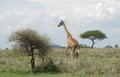 Giraffe in the savannah Royalty Free Stock Photo