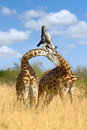 Giraffe on savannah in africa national park of Royalty Free Stock Photos