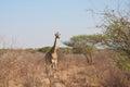 Giraffe in savannah wild south african walking african Stock Image