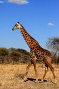 Giraffe in serengeti giraffewalking the savannah Stock Images