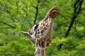 Giraffe showing its teeth Royalty Free Stock Image