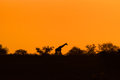 Giraffe silhouette with evening orange sunset Royalty Free Stock Photo