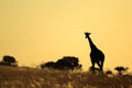 Giraffe silhouette a giraffa camelopardalis silhouetted against a sunset south africa Stock Photo