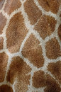 Giraffe skin genuine leather of girafta camelopardalis Royalty Free Stock Photography
