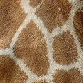 Giraffe skin genuine leather of girafta camelopardalis Stock Photos