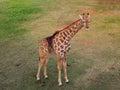 Giraffe standing in the grass lion park south africa autumn national gauteng Stock Image