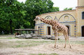 A giraffe standing in her yard at zoo their berlin germany Royalty Free Stock Photo