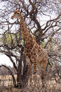 Giraffe standing next to large tree grown proud a Royalty Free Stock Photo