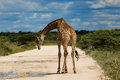 Giraffe standing in the road in etosha national park in namibia africa with lowered head near water puddle Royalty Free Stock Images