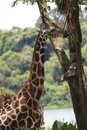 Giraffe standing tall in its habitat Stock Image
