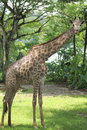 Giraffe standing tall in its habitat Royalty Free Stock Photography