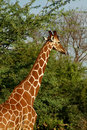 Giraffe standing tall beside tree Stock Photos