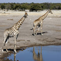 Giraffe - stationnement national d'Etosha - la Namibie Photographie stock