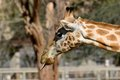 Giraffe sticking out tounge a its Royalty Free Stock Photos