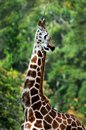 Giraffe stretching for food. Royalty Free Stock Photo