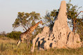 Giraffe by a Termite Mound Stock Photography
