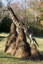 Giraffe with termites Stock Photography