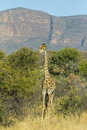 Giraffe in thick bush Royalty Free Stock Photo