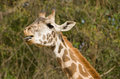 Giraffe tongue a sticking out its Royalty Free Stock Photography