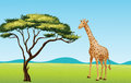 Giraffe by a tree Royalty Free Stock Images