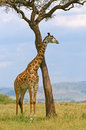 Giraffe and a tree Stock Photo