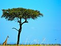 Giraffe and tree by in maasai mara Stock Images