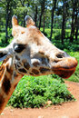 Giraffe under blue skies africa Royalty Free Stock Photo